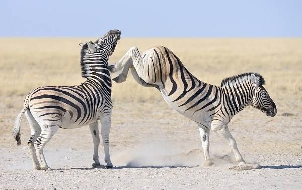 Зебра-животное-Описание-особенности-виды-образ-жизни-и-среда-обитания-зебры-13