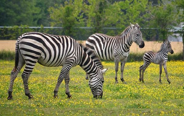 Зебра-животное-Описание-особенности-виды-образ-жизни-и-среда-обитания-зебры-14