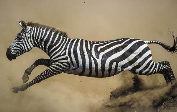 Зебра-животное-Описание-особенности-виды-образ-жизни-и-среда-обитания-зебры-15
