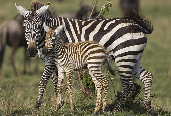 Зебра-животное-Описание-особенности-виды-образ-жизни-и-среда-обитания-зебры-16