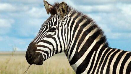 Зебра животное. Описание, особенности, виды, образ жизни и среда обитания зебры