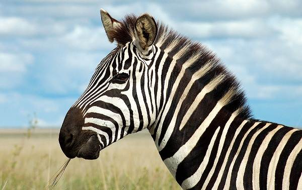 Зебра-животное-Описание-особенности-виды-образ-жизни-и-среда-обитания-зебры-2