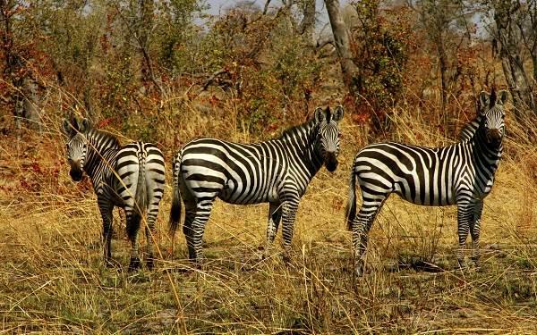 Зебра-животное-Описание-особенности-виды-образ-жизни-и-среда-обитания-зебры-5
