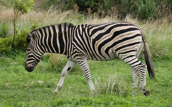 Зебра-животное-Описание-особенности-виды-образ-жизни-и-среда-обитания-зебры-6