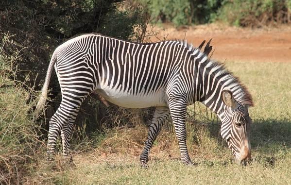 Зебра-животное-Описание-особенности-виды-образ-жизни-и-среда-обитания-зебры-7
