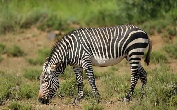 Зебра-животное-Описание-особенности-виды-образ-жизни-и-среда-обитания-зебры-8