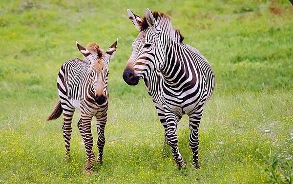 Зебра-животное-Описание-особенности-виды-образ-жизни-и-среда-обитания-зебры-9