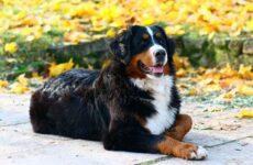 Зенненхунд собака. Описание, особенности, виды, цена и уход за породой зенненхунд