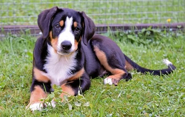 Зенненхунд-собака-Описание-особенности-виды-цена-и-уход-за-породой-зенненхунд-10