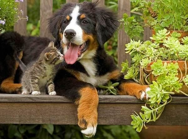 Зенненхунд-собака-Описание-особенности-виды-цена-и-уход-за-породой-зенненхунд-11