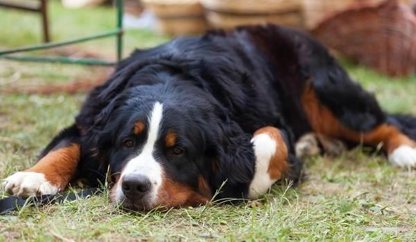 Зенненхунд-собака-Описание-особенности-виды-цена-и-уход-за-породой-зенненхунд-12