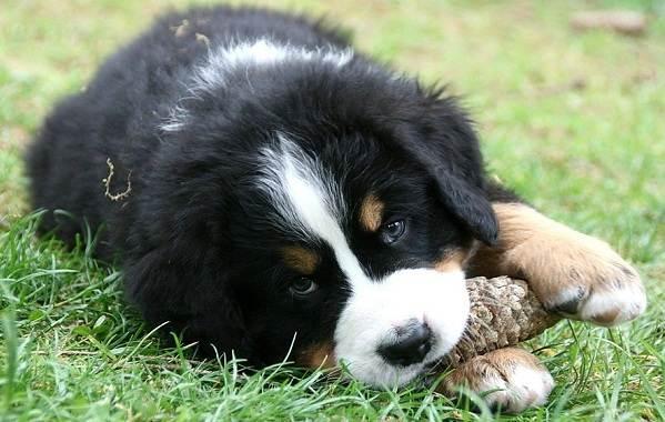 Зенненхунд-собака-Описание-особенности-виды-цена-и-уход-за-породой-зенненхунд-15