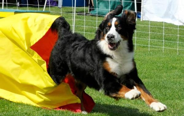 Зенненхунд-собака-Описание-особенности-виды-цена-и-уход-за-породой-зенненхунд-16