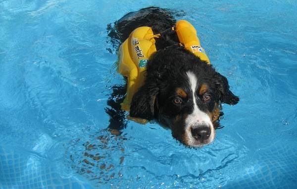 Зенненхунд-собака-Описание-особенности-виды-цена-и-уход-за-породой-зенненхунд-17