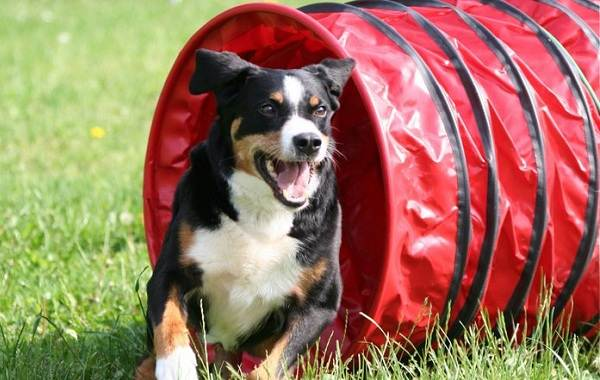 Зенненхунд-собака-Описание-особенности-виды-цена-и-уход-за-породой-зенненхунд-18