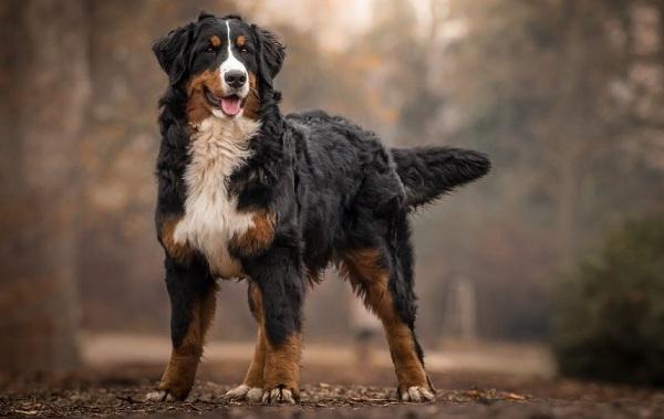 Зенненхунд-собака-Описание-особенности-виды-цена-и-уход-за-породой-зенненхунд-19