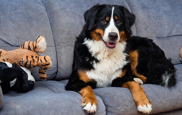 Зенненхунд-собака-Описание-особенности-виды-цена-и-уход-за-породой-зенненхунд-20