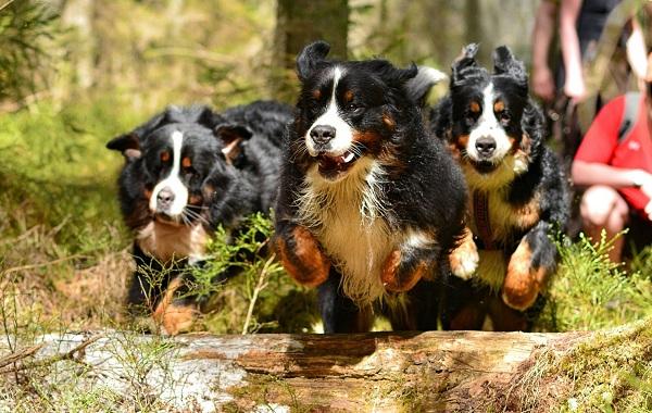 Зенненхунд-собака-Описание-особенности-виды-цена-и-уход-за-породой-зенненхунд-23