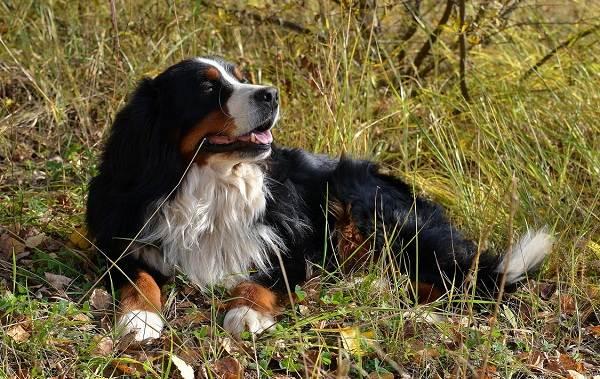 Зенненхунд-собака-Описание-особенности-виды-цена-и-уход-за-породой-зенненхунд-4