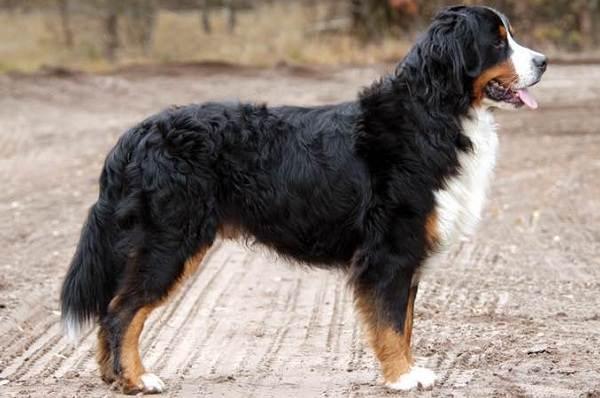Зенненхунд-собака-Описание-особенности-виды-цена-и-уход-за-породой-зенненхунд-5