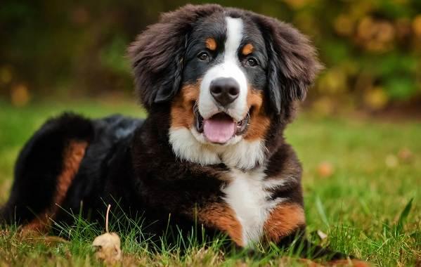 Зенненхунд-собака-Описание-особенности-виды-цена-и-уход-за-породой-зенненхунд-6