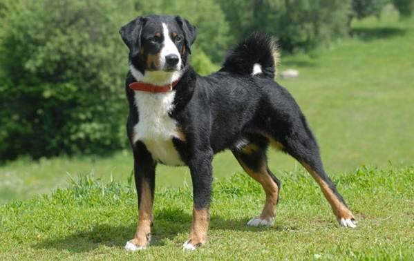 Зенненхунд-собака-Описание-особенности-виды-цена-и-уход-за-породой-зенненхунд-8