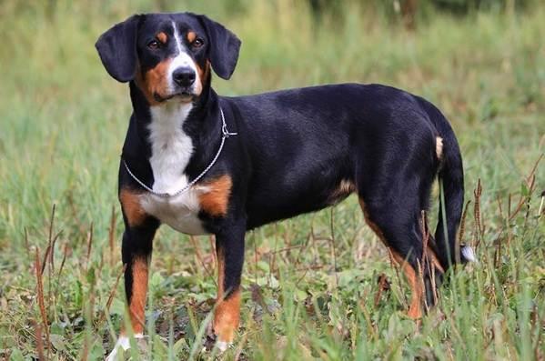 Зенненхунд-собака-Описание-особенности-виды-цена-и-уход-за-породой-зенненхунд-9