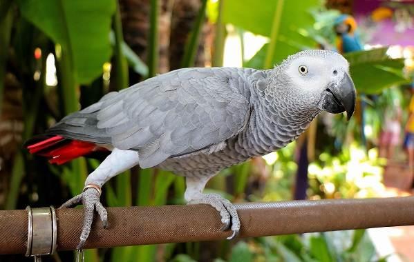 Жако-попугай-птица-Описание-особенности-виды-уход-и-цена-жако-1