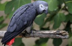 Жако попугай птица. Описание, особенности, виды, уход и цена жако
