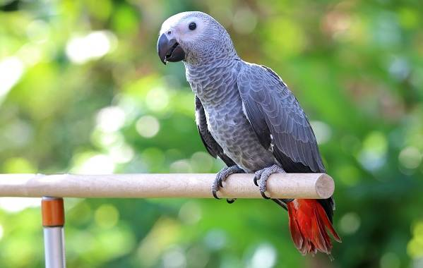 Жако-попугай-птица-Описание-особенности-виды-уход-и-цена-жако-4
