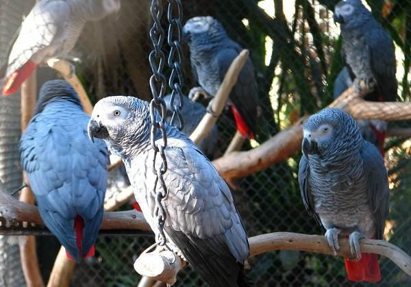Жако-попугай-птица-Описание-особенности-виды-уход-и-цена-жако-5