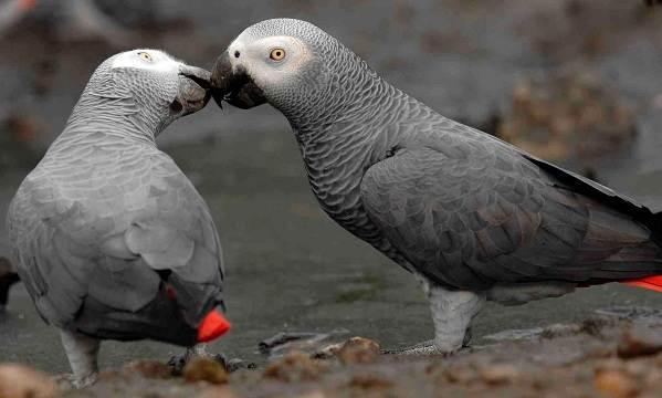 Жако-попугай-птица-Описание-особенности-виды-уход-и-цена-жако-8
