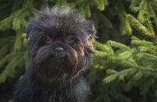 Аффенпинчер собака. Описание, особенности, виды, уход и цена породы аффенпинчер