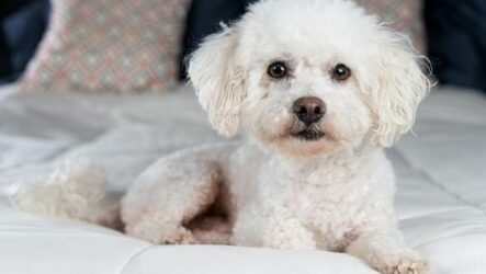 Бишон фризе собака. Описание, особенности, уход и цена породы бишон фризе