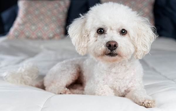 Бишон-фризе-собака-Описание-особенности-уход-и-цена-породы-бишон-фризе-14