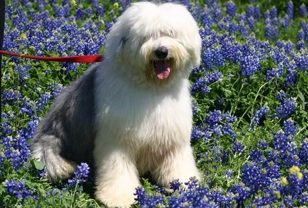 Бобтейл-собака-Описание-особенности-виды-уход-и-цена-породы-бобтейл-1