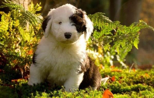 Бобтейл-собака-Описание-особенности-виды-уход-и-цена-породы-бобтейл-10