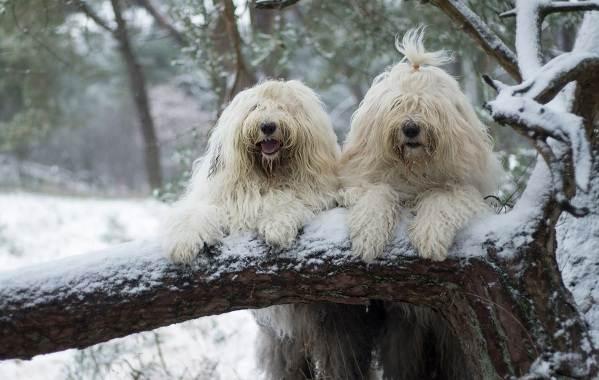 Бобтейл-собака-Описание-особенности-виды-уход-и-цена-породы-бобтейл-11
