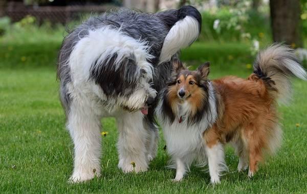 Бобтейл-собака-Описание-особенности-виды-уход-и-цена-породы-бобтейл-12