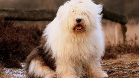 Бобтейл собака. Описание, особенности, виды, уход и цена породы бобтейл