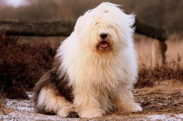 Бобтейл-собака-Описание-особенности-виды-уход-и-цена-породы-бобтейл-13