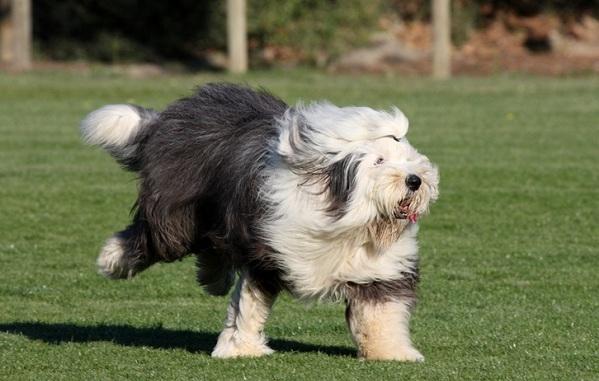 Бобтейл-собака-Описание-особенности-виды-уход-и-цена-породы-бобтейл-14