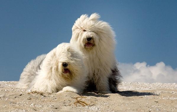 Бобтейл-собака-Описание-особенности-виды-уход-и-цена-породы-бобтейл-16