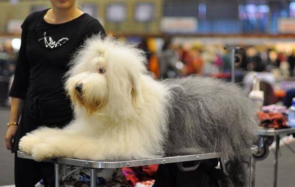 Бобтейл-собака-Описание-особенности-виды-уход-и-цена-породы-бобтейл-17