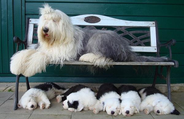 Бобтейл-собака-Описание-особенности-виды-уход-и-цена-породы-бобтейл-18
