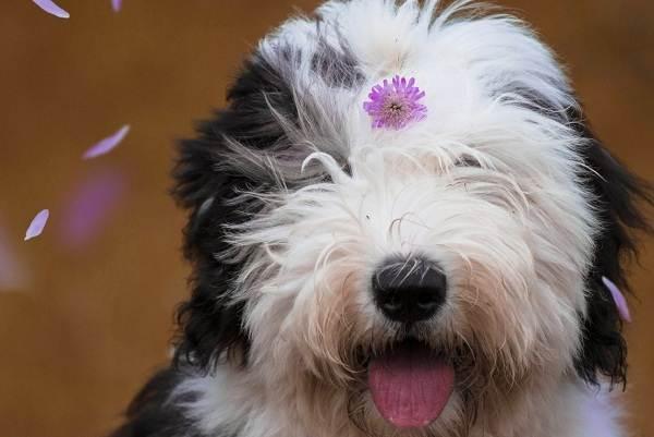 Бобтейл-собака-Описание-особенности-виды-уход-и-цена-породы-бобтейл-2