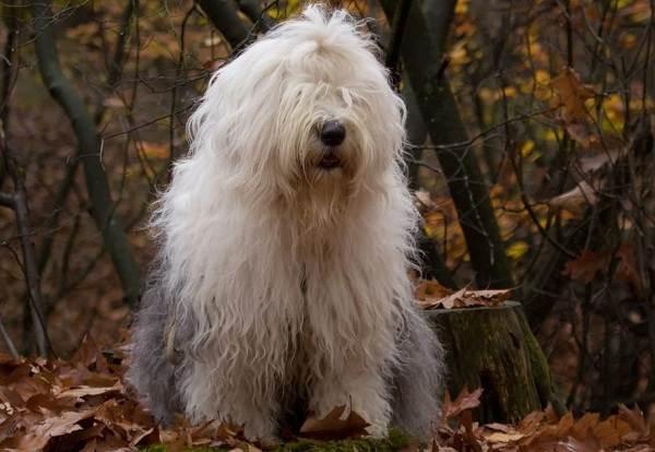 Бобтейл-собака-Описание-особенности-виды-уход-и-цена-породы-бобтейл-3