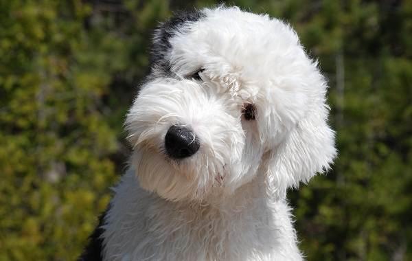 Бобтейл-собака-Описание-особенности-виды-уход-и-цена-породы-бобтейл-5