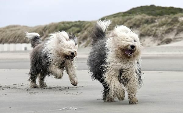 Бобтейл-собака-Описание-особенности-виды-уход-и-цена-породы-бобтейл-6