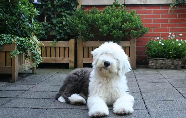Бобтейл-собака-Описание-особенности-виды-уход-и-цена-породы-бобтейл-7